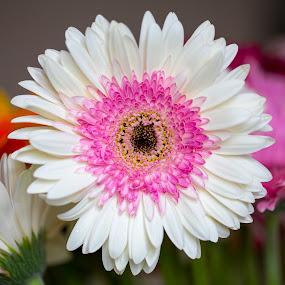 Sunflower by Edmar Colo - Flowers Flower Gardens