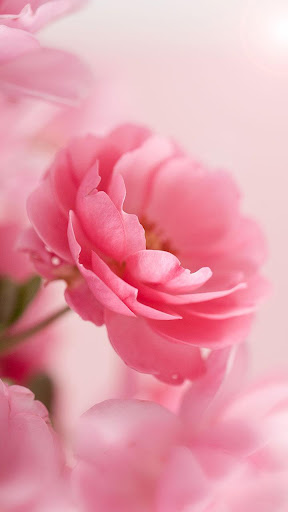 Pink roses live wallpaper by live wallpaper hq google play united pink roses live wallpaper by live wallpaper hq google play united states searchman app data information altavistaventures Gallery