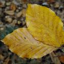 Beech tree leaves (Autumn)