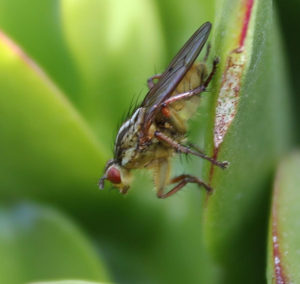 Banana Fly