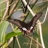 Indian Common Mormon (Female form stichius)