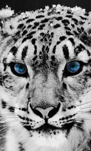 Snow Leopard Free HD LWP