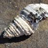 Sea Snail Shell