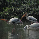 Spot Billed Pelican and Painted Stork