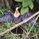 Darter/ Snakebird