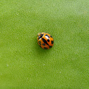 Variable Ladybird [Common Australian Lady Beetle]