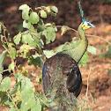 Green Peafowl - Male