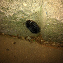 Black wooly bear - caterpillar for the Giant Leopard Moth