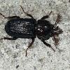 Stag Beetle (Syndesus cornutus)
