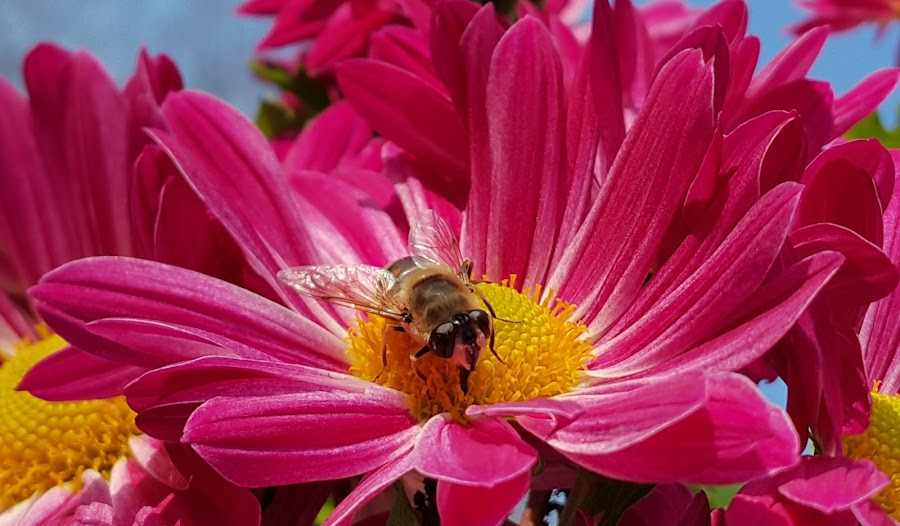red rose and bee by Boris Radevski - Flowers Flower Gardens ( bee, red rose,  )