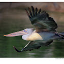 Spot-billed Pelican