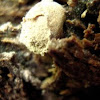 Little fungus ball that hasn't spewed its spores yet