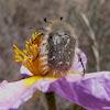 Cetonia velluda. Beetle