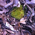 Star Moss