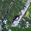 Saddle-Back Tamarin
