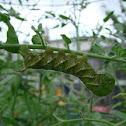 Tobacco Hornworm - Sphinx Moth