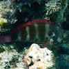 Redbarred Hawkfish
