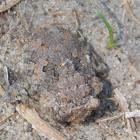 Big-eyed Toad Bug