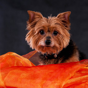 Is small, round and all hairy :-) by Renata Horáková - Animals - Dogs Portraits ( yorkshire terrier, dog portrait, dog,  )