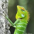 Lizards of Sri Lanka