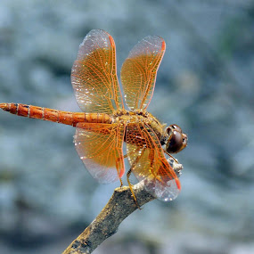 The Dragon Fly 2 by Udaybhanu Sarkar - Animals Insects & Spiders ( orange, creature, insect, dragonfly, small,  )