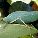 Unidentified Leaf Katydid