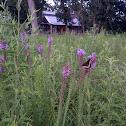 Black Swallowtail on Prairie Blazing Star