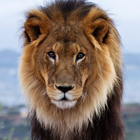 King by Cheryl Nestico - Animals Lions, Tigers & Big Cats ( lion, wild life, wildlife, out of africa )