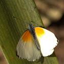 Twin-dotted border / Oranjevlerk-voeëlentwitjie