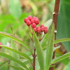Scarlet milkweed, buds and seed pods
