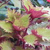 Coleus Cultivar
