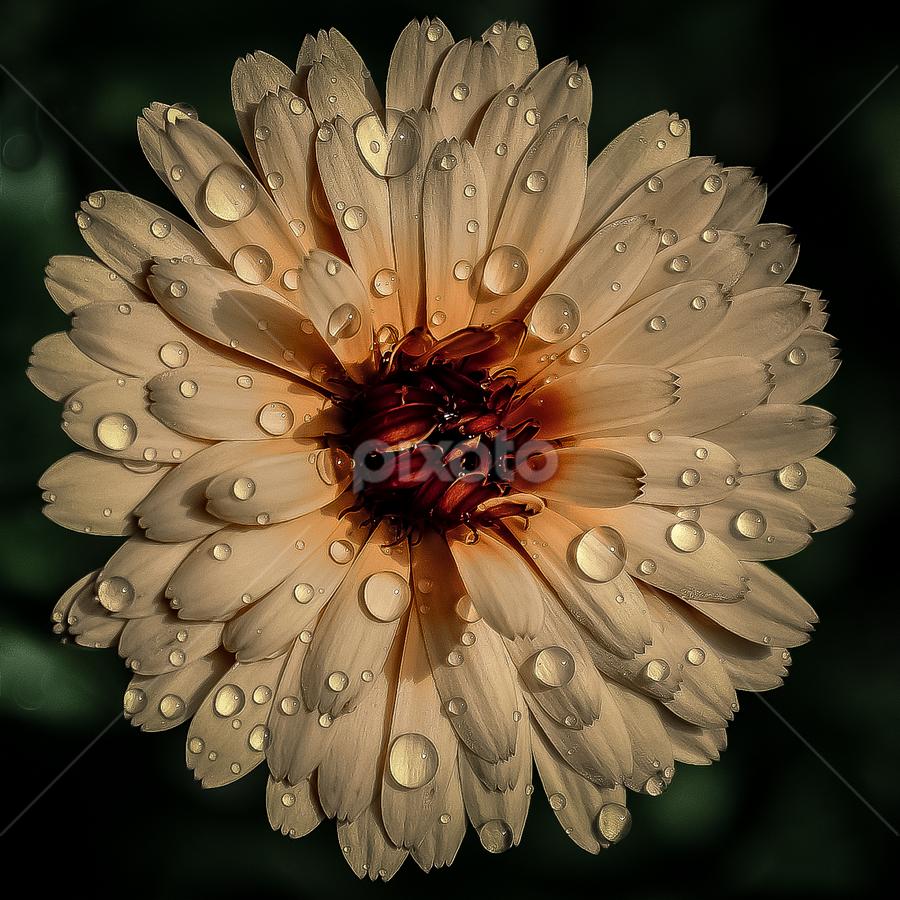 by Mihaly Istvan - Flowers Single Flower