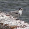 Artic tern (juvenile)