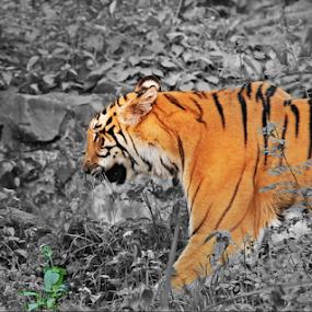 ROYAL BENGAL TIGRESS  by Amit Sen - Animals Lions, Tigers & Big Cats