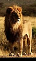 Screenshot of Lion Live Wallpaper