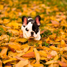by Titus Criste - Animals - Dogs Puppies ( puppies, autumn, french bulldog black and white, d5200, french bulldog, nikon,  )