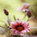 Rain Flower Live Wallpaper icon