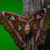 Atlas moth, Atlasspinner