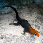 Yellow-headed Gecko