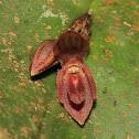 Pleurothallis bivalvis