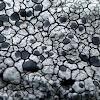 Single-spored Map Lichen