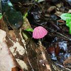 Marasmius Fungi
