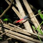 Crimson-tailed marsh hawk