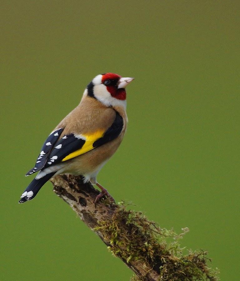 Goldfinch by Bob Rawlinson - Animals Birds ( darrens )