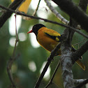 The Black-hooded Oriole