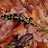 Fire salamander (Σαλαμάνδρα)