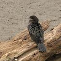 black cormorant,