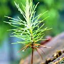 Caribbean Pine Tree