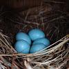 Eastern Bluebird eggs