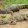 Australian freshwater crocodile